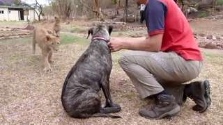 Two Lions Attack Dog