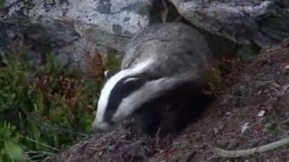 Scared Badger Falls Off Cliff