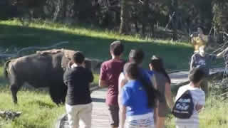 Bison Chases Little Kids At Yellowstone