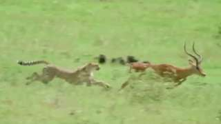 Impala Nearly Outruns A Cheetah