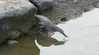 Clever Bird Catches Fish