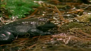 Poisonous Newt Vs Hungry Frog