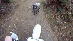 Goat Won't Let Biker Pass
