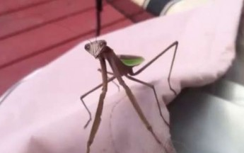 Praying Mantis Attacks Dude Teasing It