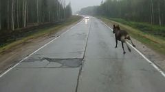 Moose Slips On Wet Road
