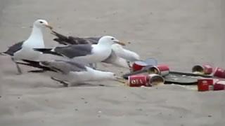 Hilarious Seagull Laxative Prank