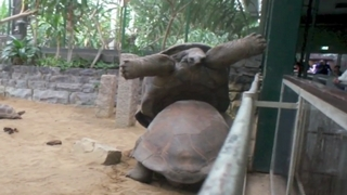 Turtle Bully Pushes Other Over
